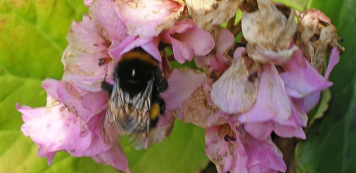 Bumblebee queen on bergenia
