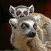 Ring-tailed Lemur, Berenty, Madagascar by Terathopius