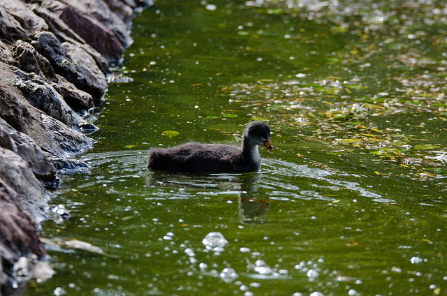 Young coot, greenish water