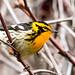 IMG_7129 Blackburnian Warbler