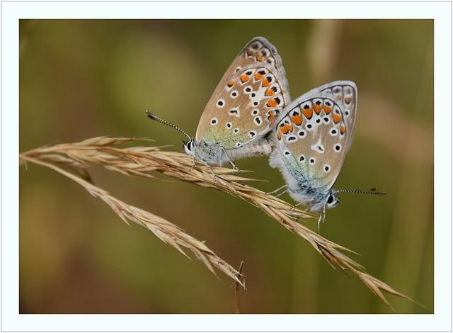 Heuhechelbläuling (Polyommatus icarus) / Paarung