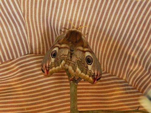 Petit paon de nuit (femelle) née le 13.04.13Visite de 3 mâles les 15-16-17 avril (1)