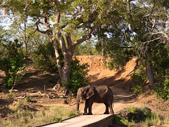 Elephant at Shingwedzi low bridge