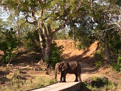 Elephant at Shingwedzi low bridge