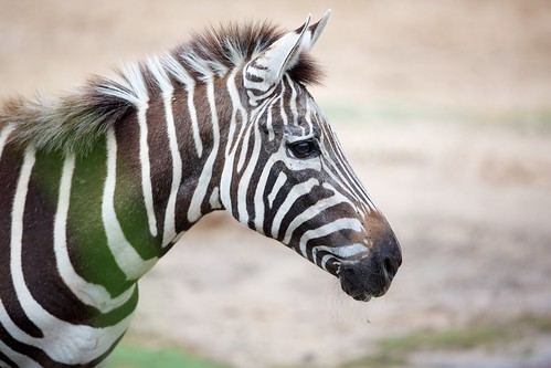 Zebra from behind the grass
