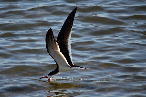 Black Skimmer at Bolsa Chica wetlands, CA