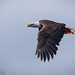 Bald Eagle with Ocean Perch by Peter Brake