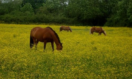 horses & buttercups