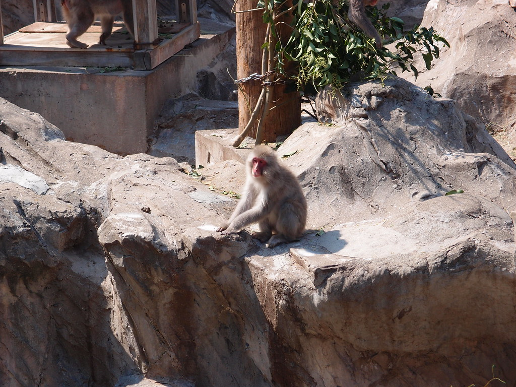 Japanese macaque @ Ueno Zoo   Guilhem Vellut   Flickr