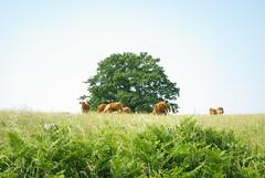 Vaches du Désert - Photo of Mellé