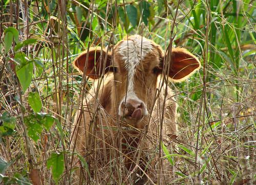 Cattle in Costa Rica