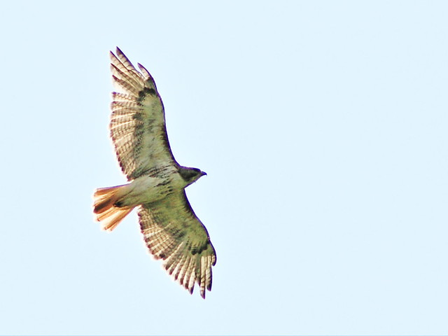 Red-tailed Hawk 20130815