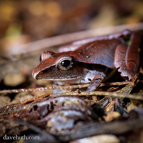 Noble's Robber Frog (Craugastor noblei)