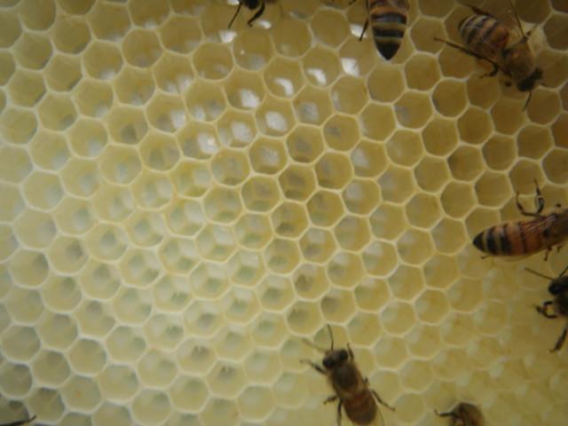 honey comb full of eggs