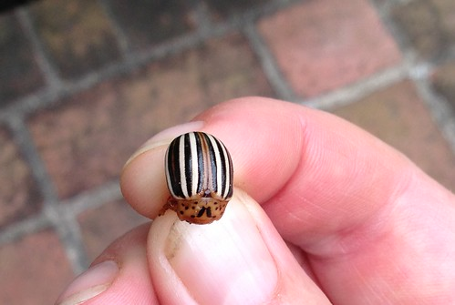 False Potato Beetle (Leptinotarsa juncta)
