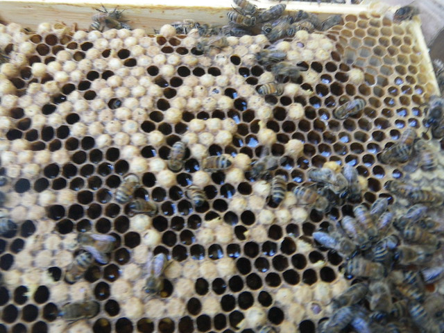 drone brood being backfilled with nectar