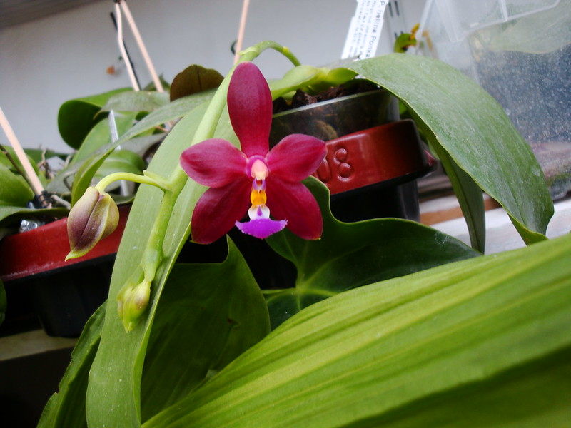 Phalaenopsis bellina 'Ponkan' x mannii 'Black' 9920808885_96520dfc26_c