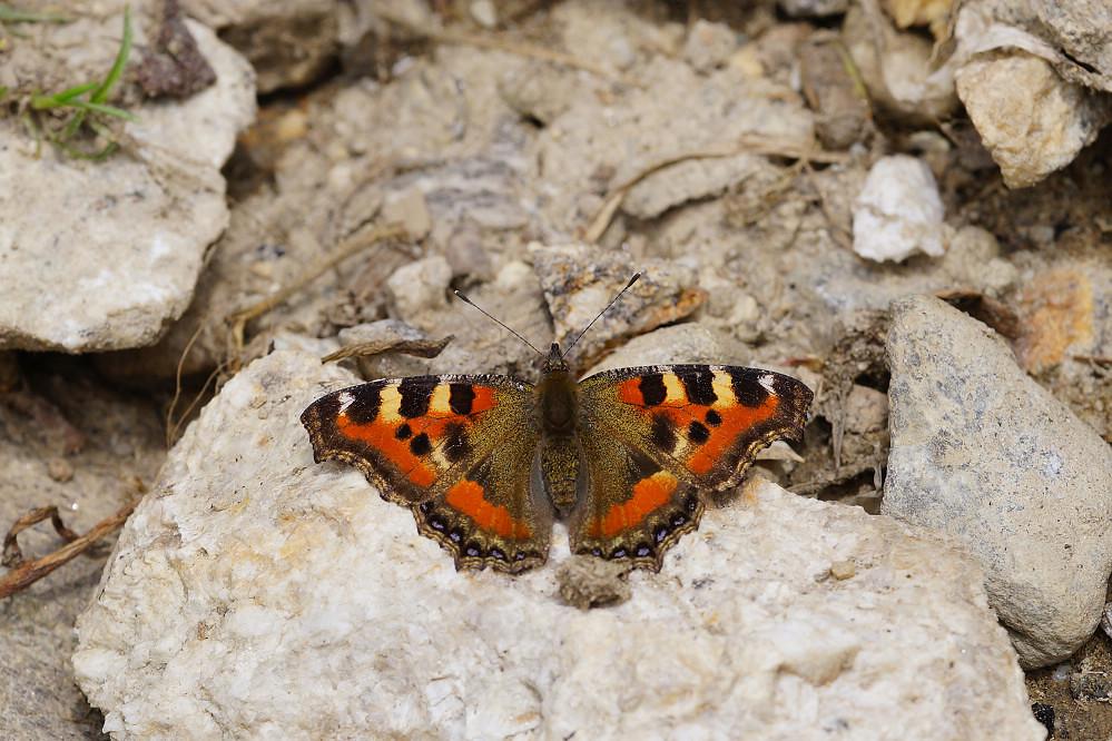 南亞蛺蝶 Aglais kaschmirensis-7