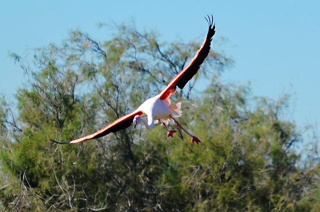 Flying Flamingo, Ornithological Park, Saintes Maries de la Mer, Camargue, France