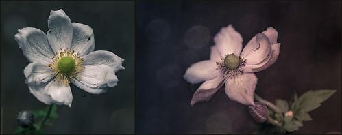 Japanese Anemones // 07 10 13