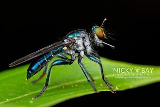 Robberfly (Laphriinae) - DSC_5958