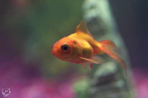 Gold fish (gold)