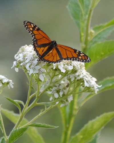 Monarch Butterfly on Frostweed