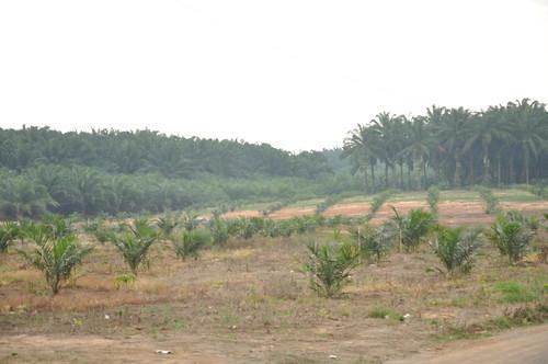 #holzvonhier Bild Urwaldabholzung für Palmöl