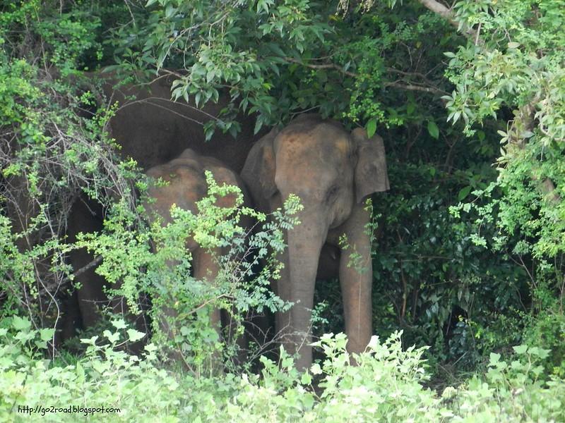 Слон азиатский, Шри Ланка