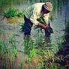 La dok gelut di padang #menanam #padi #kedah #kedahrice #ayerhitam #matangbonglai