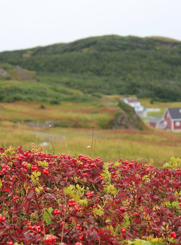 Newfoundland - Partridgeberries 1