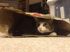 Amelia cat in paper bag