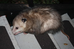 animal, opossum, virginia opossum, possum, common opossum, mammal,