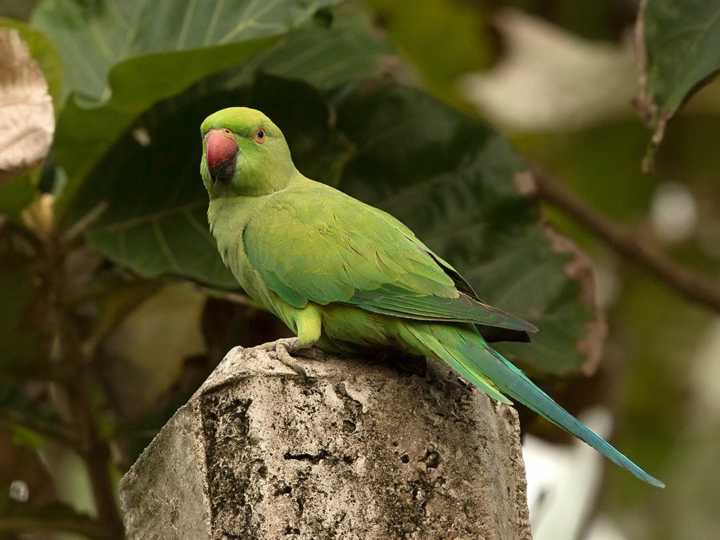 Ring Ringed Parakeet  Sri Lanka 2013
