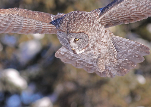 Great Gray Owl...#19