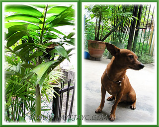 Collage of Bulbuls' nest on Macarthur Palm and Maxi, our petdog at the backyard, 30 Dec 2013
