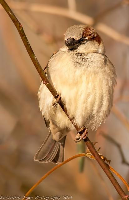 House Sparrow in the sun