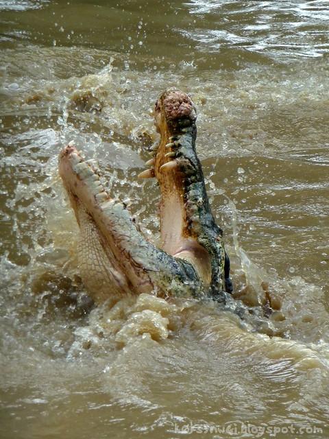 Croc Splash