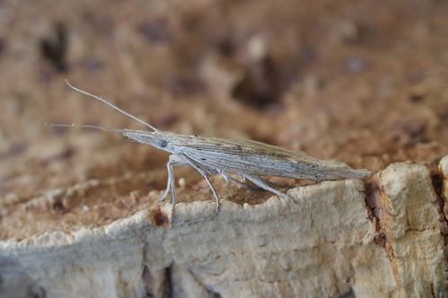 Ypsolopha mucronella