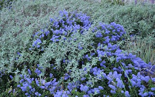 Joyce Coulter Ceanothus, Point Sal Spreader Purple Sage, and Canyon Prince Giant Wild Rye