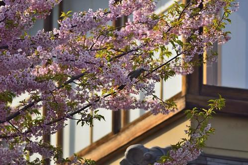 桜とヒヨドリ by leicadaisuki