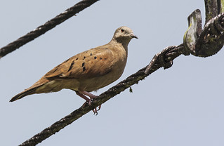 Panama: Ruddy Ground-Dove