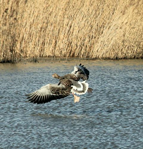 Greylag Goose 26690