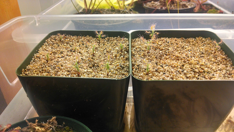 Drosera scorpioides, 10 weeks old from gemmae.