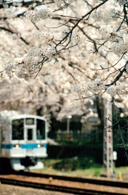 桜(座間相)
