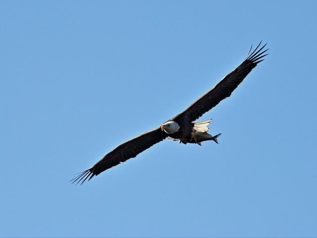 Bald Eagle female in flight 20150128