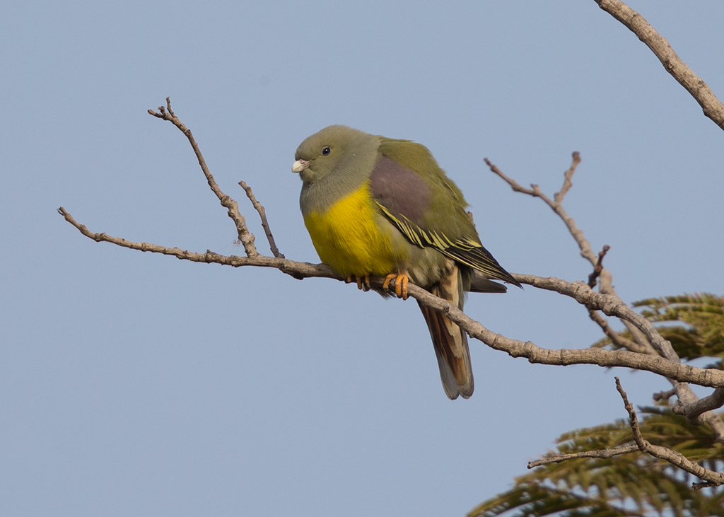Bruce's Green Pigeon   Gambia