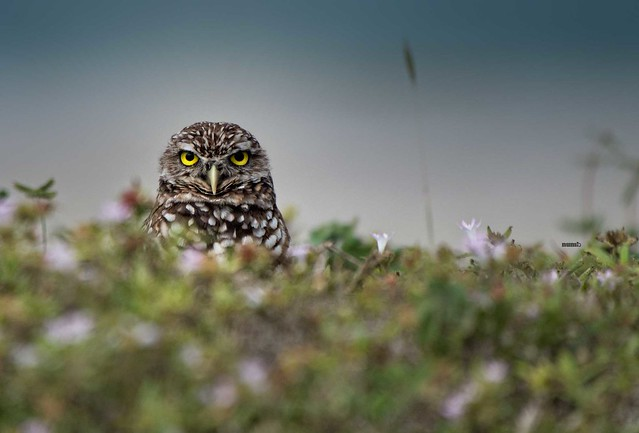 Burrowing Owl guarding its nest
