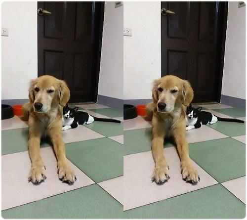 「認養」新竹新豐鄉4歲多黃金獵犬豆豆小姐~誠徵會照顧他一輩子的新家~謝謝您!20150130
