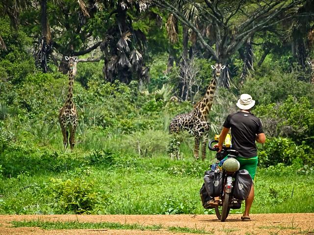 Giraffes up close: Katavi National Park